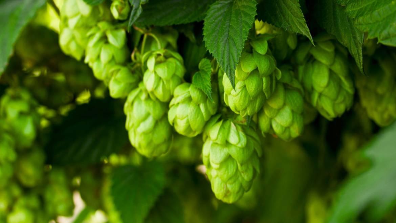Что пивовары знали о хмеле в XVIII веке